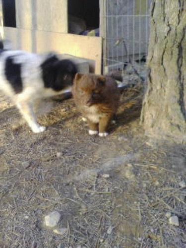 이쁜이 세번째 출산시 3마리중 1마리만 살아남은 강아지
