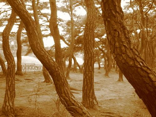 경주남산 소나무